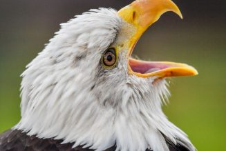 Bald eagle takes out EGLE's drone because it's 2020 and irony is dead