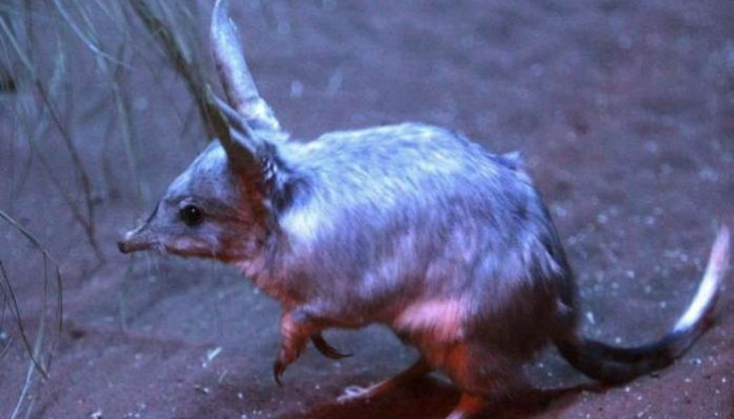 Vulnerable marsupial released into predator-free enclosure in Australia