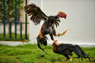 #BRUHNews: Cop Gets Killed By A Fighting Rooster In The Philippines