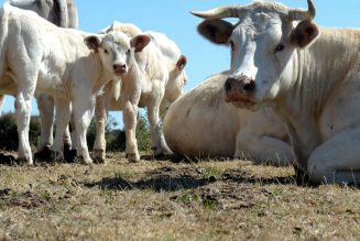 Climate change has a cow and worm problem