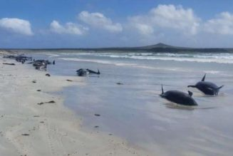 New Zealand mass stranding leaves nearly 100 whales dead
