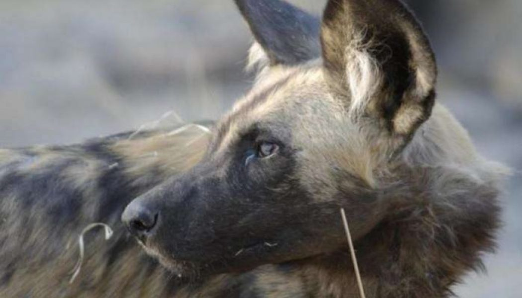 Official: Kaduna vaccinates 6,250 dogs against rabies