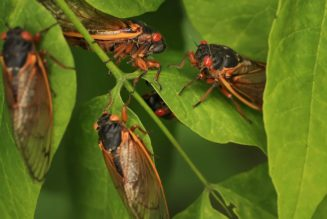 You probably shouldn't eat cicadas if you're allergic to shellfish